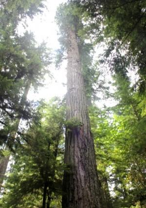 높이 76m, 너비 9m의 더글러스 퍼.